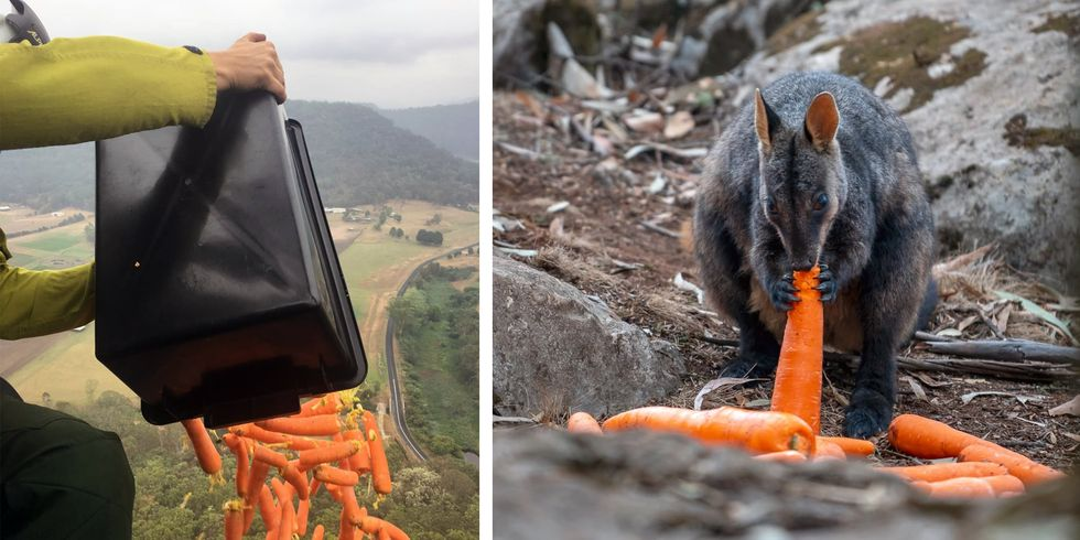 An article on BBC claims that amid the devastation, one effort, Operation Rock-Wallaby, aims to provide a bit of help to the bushfire's smallest, furriest, and most vulnerable victims.